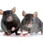 Rattengift und Rattenfallen